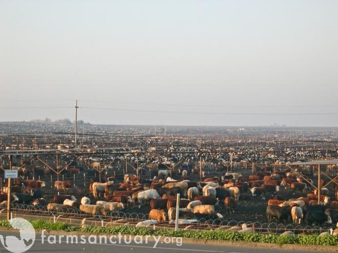Harris Ranch feedlot in California