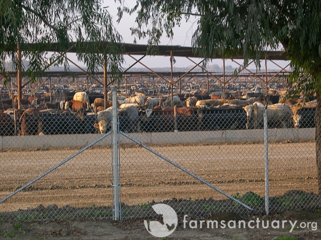 Harris Ranch feedlot in California