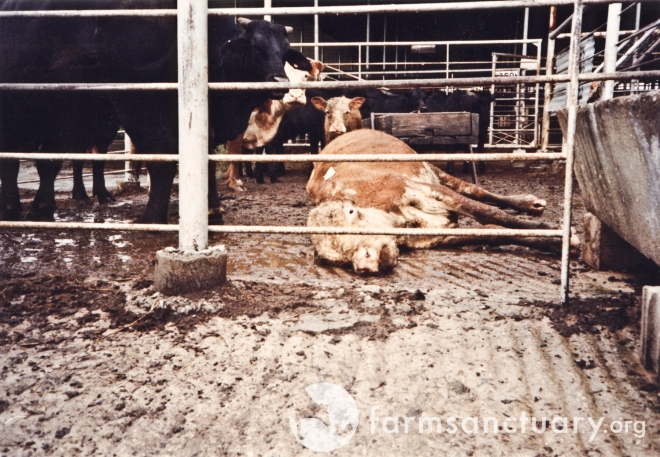 A downed cow with her calf